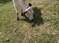 یک عدد گاو داشتی در شیپور-عکس کوچک