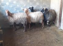 گوسفند جوان آبستن در شیپور-عکس کوچک