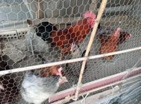 فروش 6 تا مرغ و یک خروس بزرگ در شیپور-عکس کوچک