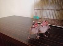 بلبل خرما شاه تخم و آماده دستی کردن در شیپور-عکس کوچک