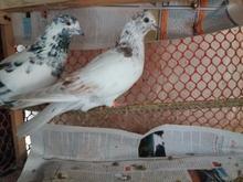 کبوتر کله برنجی حلقه نارنجی پای راست گم کردم در شیپور