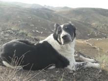سگ قدرجونی در شیپور
