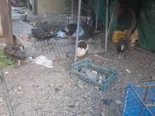 بقلمون فروشی در شیپور
