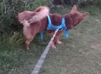 سگ اشپیتز روباهی نر 30سانتی در شیپور-عکس کوچک