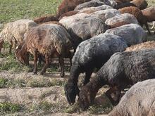 چوپان ،کارگر دامداری برای گوسفند در شیپور