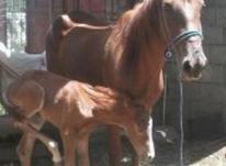اسب سالم ... در شیپور-عکس کوچک