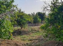 باغ مرکبات و زمین کشاورزی در شیپور-عکس کوچک