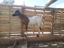 بز بربری چنقلوزا بسیار زرنگ وسرحال در شیپور