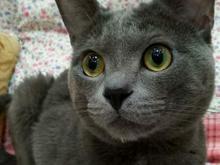 گربه راشن بلو، نر در شیپور