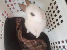خرگوش مینیاتوری در شیپور