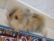 خرگوش لوپ جرسی در شیپور