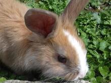 خرگوش نر بالغ با رنگ زیبا در شیپور