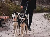 دو عدد سگ هاسکی نر و ماده در شیپور-عکس کوچک