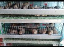 بلدرچین 50 روزه تخمی وهم مناسب کشتار در شیپور-عکس کوچک