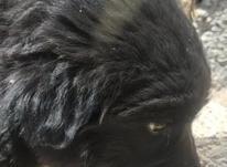 توله سگ فروشی در شیپور-عکس کوچک