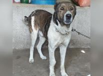 سگ افغان اصل در شیپور-عکس کوچک