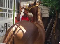 اسب نرویون در شیپور-عکس کوچک