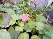 گل شمعدانی در شیپور-عکس کوچک
