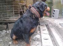 سگ روتوایلر ماده 19ماهه در شیپور-عکس کوچک