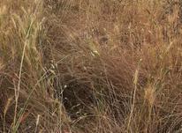 فروش زمین کشاورزی 3000 متر در بهنمیر در شیپور-عکس کوچک