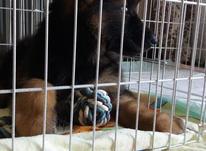 توله سگ ژرمن شپرد،شولاین در شیپور-عکس کوچک