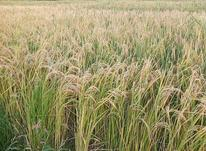زمین کشاورزی روستای فارسیان در شیپور-عکس کوچک