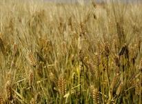 زمین کشاورزی 10 هکتار در شیپور-عکس کوچک
