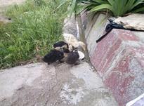 فروش جوجه اردک در شیپور-عکس کوچک