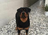 سگ روتوایلر در شیپور-عکس کوچک