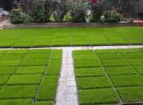 فروش بذر آماده نشا شالی در شیپور-عکس کوچک