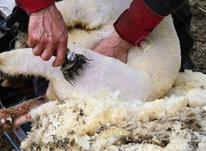 انجام پشمچینی گوسفندان با دستگاه برقی در شیپور-عکس کوچک