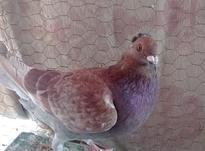 جفت کبوتر کیلومتری در شیپور-عکس کوچک