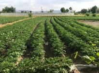 زمین کشاورزی فلاورجان در شیپور-عکس کوچک