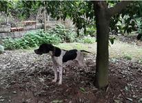 سگ شکاری پوینتر انگلیس خط خونی اصل در شیپور-عکس کوچک