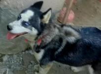 سگ هاسکی ماده در شیپور-عکس کوچک