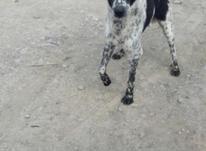 فروش سگ گله در شیپور-عکس کوچک