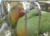 طوطی برزیلی جفت مولد صورت هلویی در شیپور-عکس کوچک