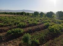 پنج هزار متر باغ انگور در شیپور-عکس کوچک
