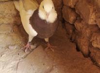 کبوترطوقی خوب در شیپور-عکس کوچک
