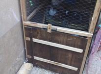 سه جفت کبوتر همراه با قفس در شیپور-عکس کوچک