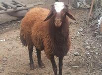 گوسفند نر قوچ افشارهیترویکساله عکس سومی مال الانه در شیپور-عکس کوچک