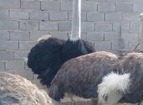 شترمرغ مولد در شیپور-عکس کوچک