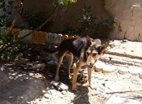 سگ ژرمن آدم گیر در شیپور-عکس کوچک