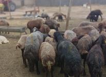 گوسفند افشاردرجه یک در شیپور-عکس کوچک