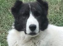 سگ گله ادمگیر در شیپور-عکس کوچک