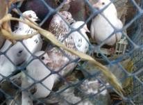 انواع کبوتر در شیپور-عکس کوچک