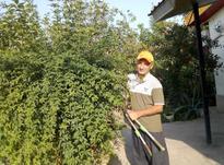 هرس لاوسون و درختان و سمپاشی و اجرا و باغبانی در شیپور-عکس کوچک