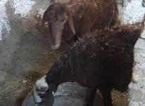 3عدد شیشک جوون ابستن قزل افشار در شیپور-عکس کوچک