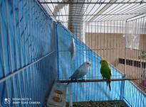 مرغ عشق جفت در شیپور-عکس کوچک