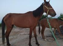 اسب مادیان در شیپور-عکس کوچک
